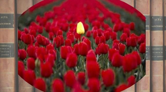 tulipe jaune tolérée au milieu de tulipes rouges